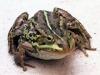 Лягушки.  Самый крупный вид среди земноводных нашей фауны.  Разнообразие лягушек.