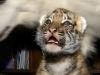 Тигрята приёмыши в Сочи PR20121202112452