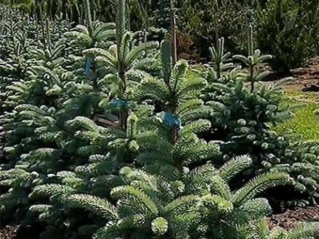 Как добиться, чтобы очаровательные хвойные растения, переселившись из райского заграничного питомника на наши дачные участки, сохранили свой привлекательный вид и пустились в бурный рост