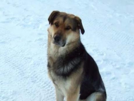В Якутске пёс неделю на 50-градусном морозе согревал свою погибшую подругу