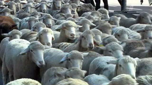Парад овец прошел по улицам Мадрида